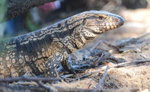 lagarto overo o iguana, tupinambis merianae